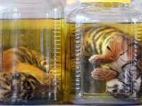"""Закрытый """"Храм тигра"""" в Таиланде"""