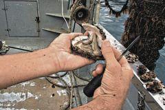 В наших моллюсках, в отличие от европейских, меньше соли и рыбного привкуса