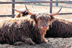 Шотландские коровы на вид весьма суровы