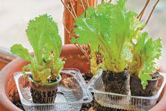 Салат, хранящий в себе огромное количество витаминов, вырастить очень легко!
