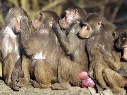 Люди спят намного меньше обезьян благодаря своей эволюции