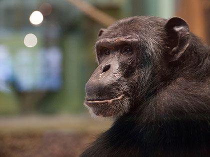 Шимпанзе начала сама чистить свой вольер