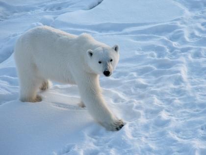 Матвей Шпаро: Белые медведи не нападают без нужды