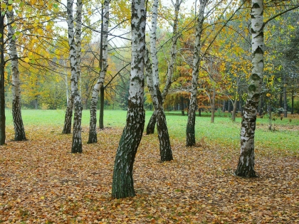 Юрий Гниненко: Очень много березового сока можно добыть без особого вреда дереву