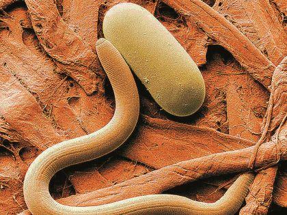 200 тысяч человек ежегодно умирают от паразитов