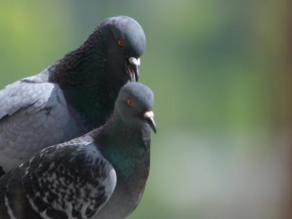 Столичные голуби