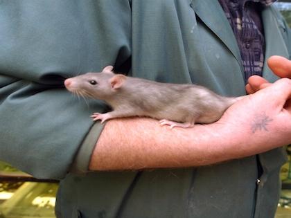 В Роспотребнадзоре считают, что проблема количества крыс не решится никогда