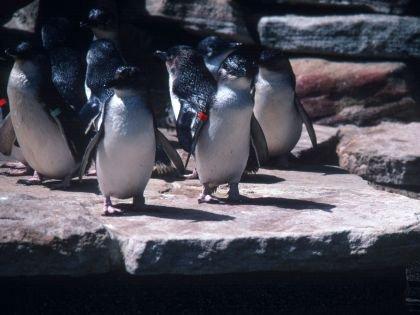 Глупый пингвин робко прячет тело жирное... или пуховое?