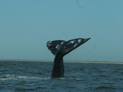 Иногда выбросившиеся на берег киты взрываются из-за накопления газа внутри их тел