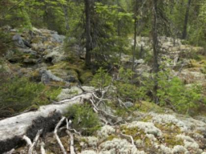 Девственные леса Коми - одно из мест, которым грозит новый закон. Фото Markus Mauthe / Greenpeace